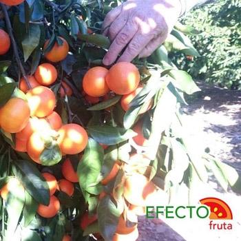 Imagen de la categoría Mandarinas y naranjas, en el pueblo de Vall D´Uixo